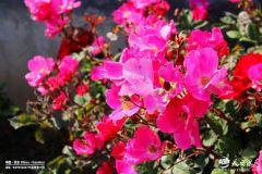 蔷薇花开!我在天水湖边等风,也等你来!