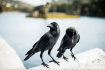 孟祥忠诗歌:乌鸦是好人(天之水网)