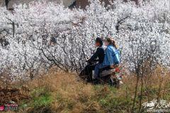 烟雨阁:在天水 有一种约定叫去新阳镇看杏花