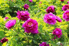 天水南山牡丹園花開正艷,剛拍的!美到爆?。ㄌ熘W組圖)