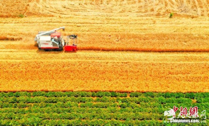 资料图:收割机穿梭在麦田中,为农民丰收助力。刘浩 陈杰 摄